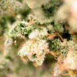 Gorilla Glue #4 Cannabis Strain Sugarleaf