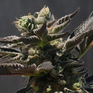 What is Cannabis Indica?