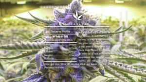What Is A Hybrid Cannabis Strain?